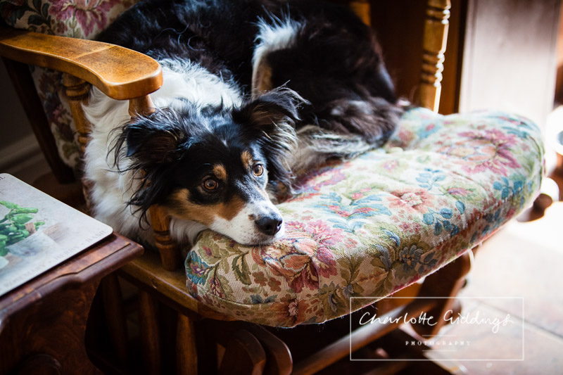 family dog sat on the chair content in the kitchen and part of the morning preparations
