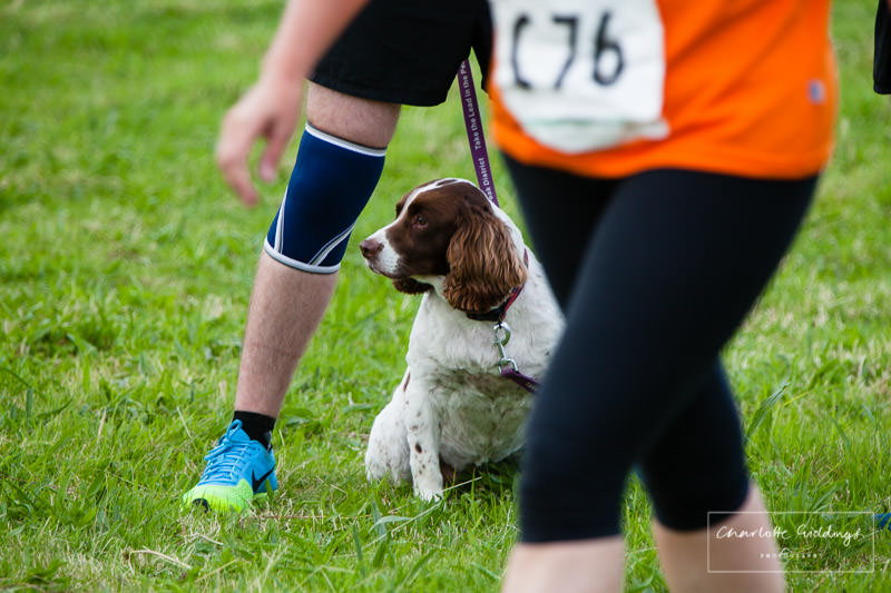 cocker spaniel watching the running event at dearnford lake, whitchurch