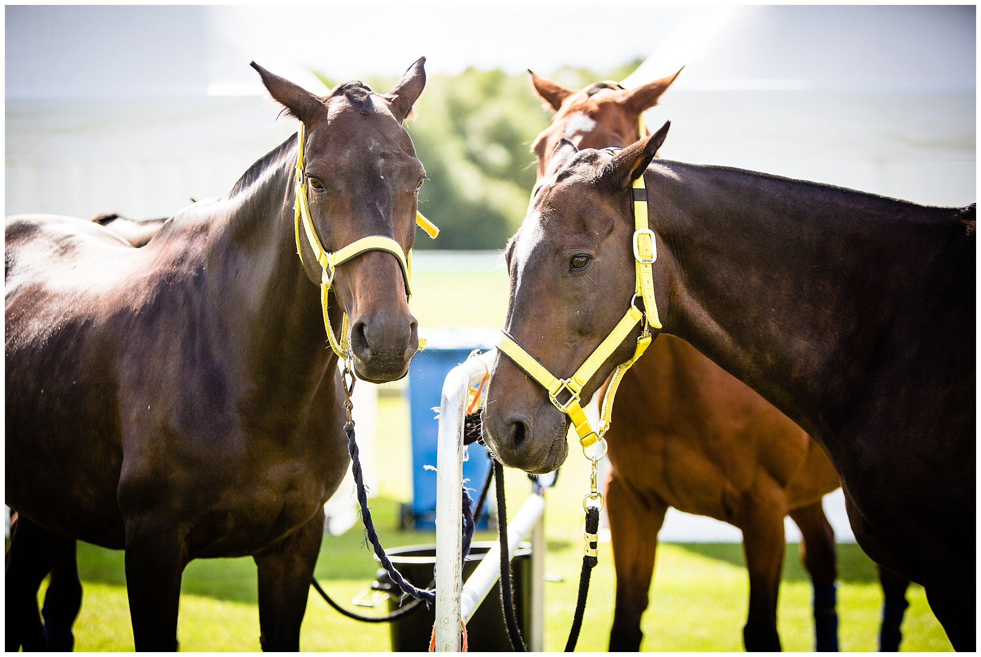 polo ponies ready for the polo match at chester race course