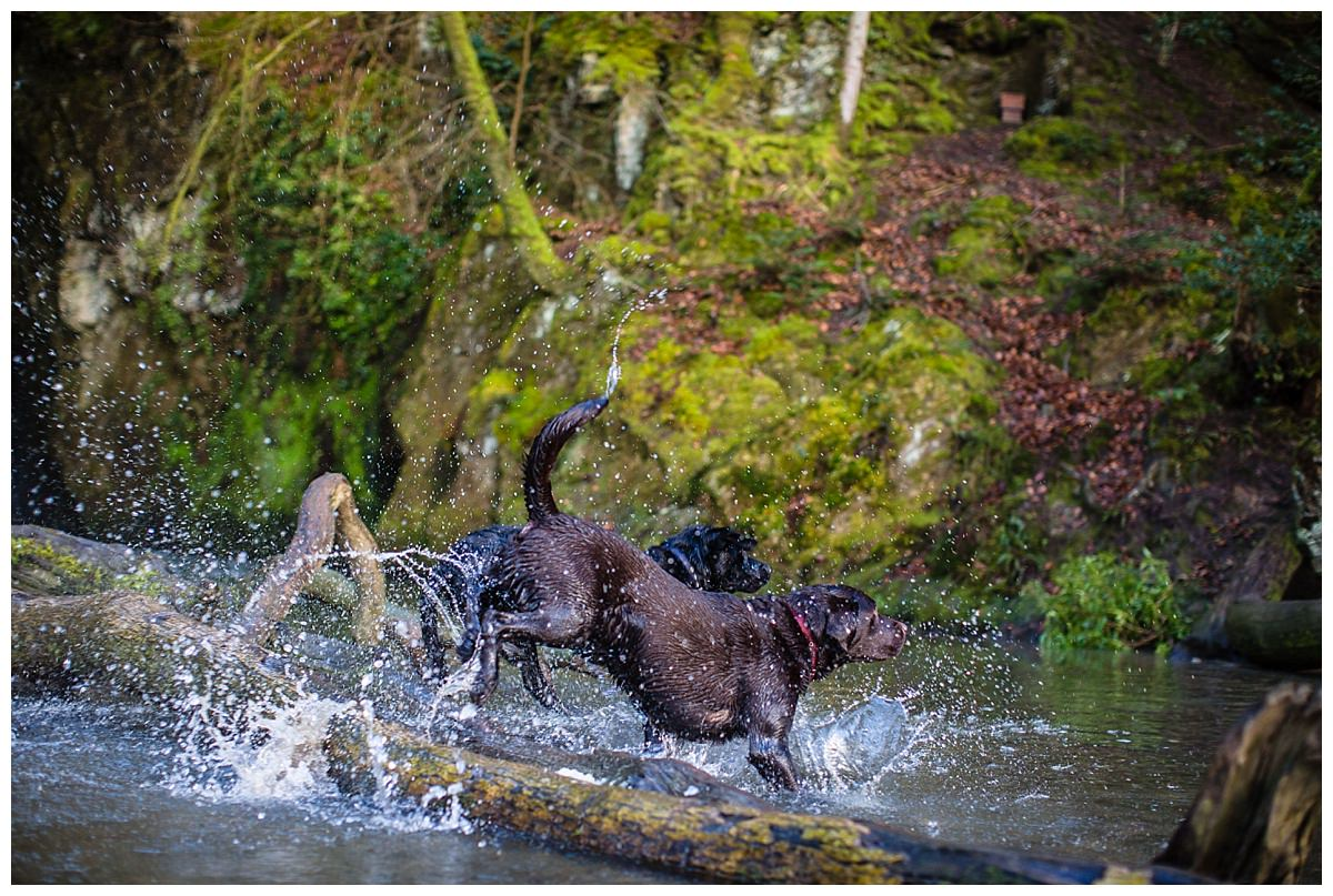 chocolate and black labrador running through the water at ffionne waterfall, new chapel, cardigan bay