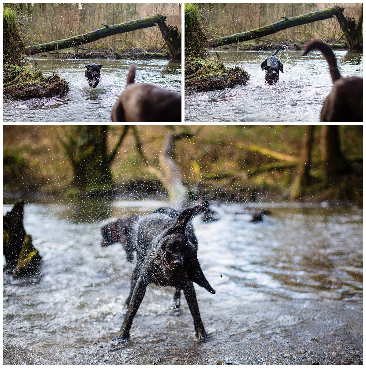 black labrador bounding through the water and shaking the water off - family holiday in south wales