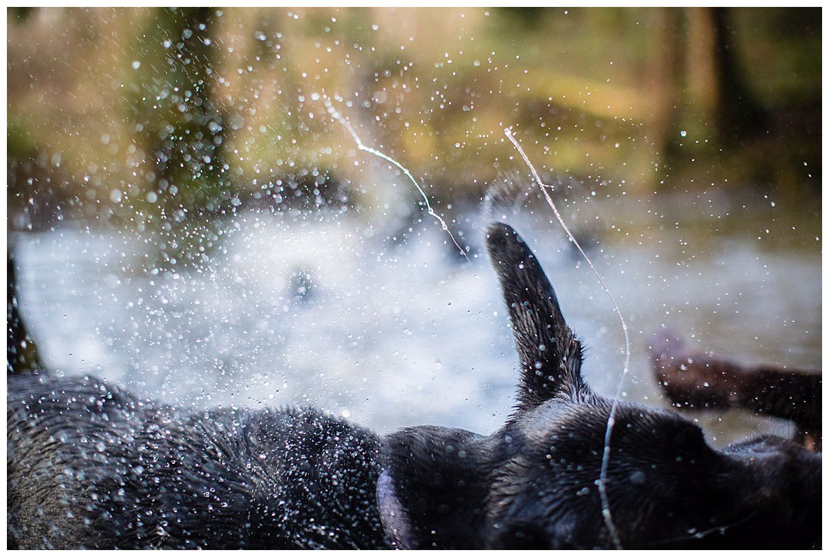 detail shot of water flicking of black labradors fur