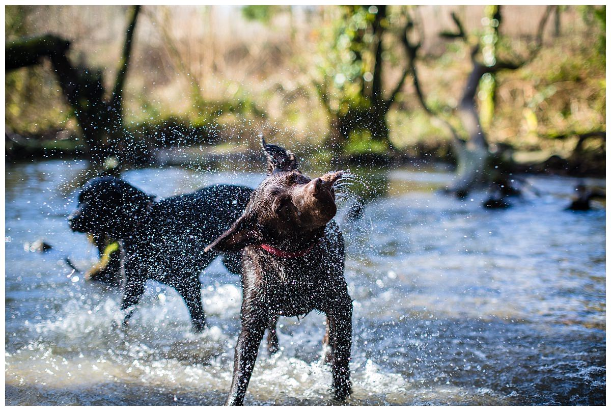 chocolate labrador shaking off excess water after running through waterfall, new chapel, south wales