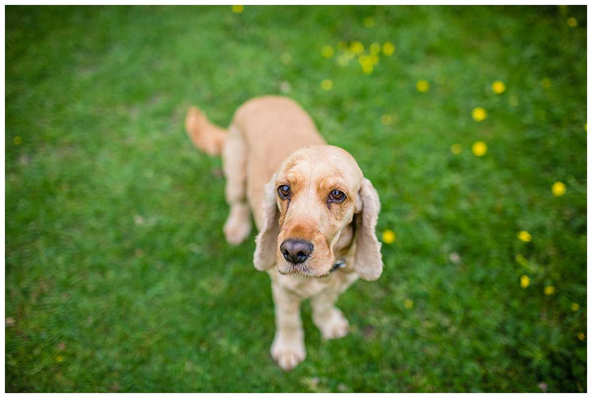 golden spaniel looking up at the camera - whitchurch, shropshire family photographer